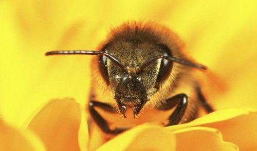 european_honey_bee_1