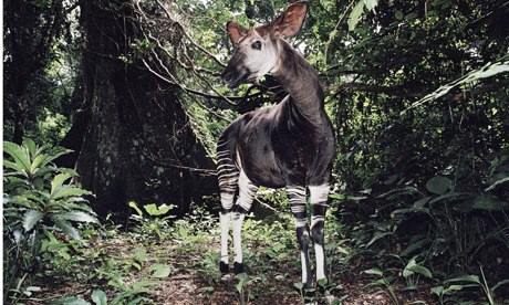 IUCN red list : Male Okapi in Epulu Ituri Rainforest Reserve Democratic Republic of Congo